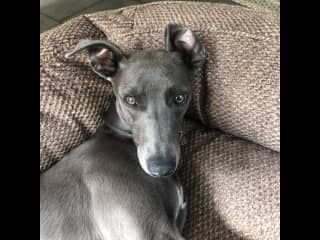 This is Willow! One very gorgeous affectionate and entertaining whippet...