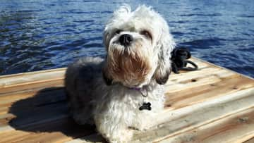 My dogs are part of cottage life too, Sparkle on the dock here.