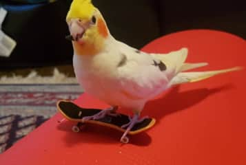 Teaching our foster cockatiel to skateboard