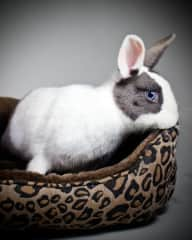 """My rescue bunny """"Brilliance"""", She's a spayed, indoor only bunny now about 13 years old."""
