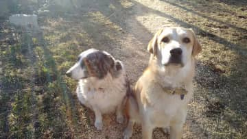 Here are Perry (Australian shepherd, age 10) and Adric (Anatolian shepherd, age 2). They have their jealous moments (and moments where Perry would like a quieter day), but they also like to play together.