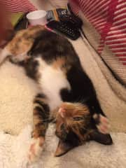 M foster cat......clearly needing a tummy rub!