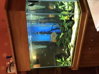Our indoor fish. The silver dollar has been with us for 14 years!