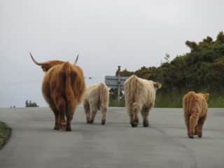 Hairy Coos in Kyle of Lochalsh Scotland, a favorite animal of ours!