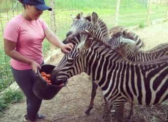 The day the baby zebras finally let me touch them after working with them for weeks to reach this point