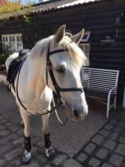 A horse that Katy has exercised, rug and fed whilst in the UK.