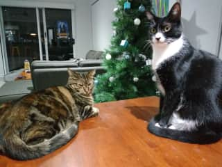 Reggie and Tonks- The cats we pet sat for in Australia, loving Christmas