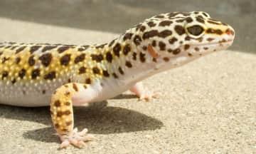 Skittles, the leopard gecko!