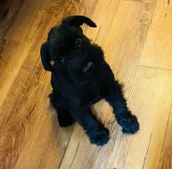 My brothers new puppy. We grew up with schnauzers.