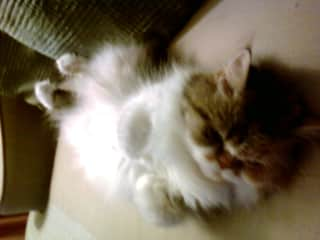 """My beloved cat, Magic. She lived a wonderful life but crossed the """"Rainbow Bridge"""" at the age of 19."""