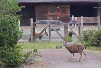 A Visiting Buck