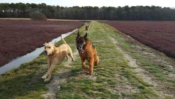 My favorite goons. Taking the dogs to the cranberry bog is my favorite activity when I'm in my hometown. I helped train and frequently care for my parents dogs, Lilly and Gristle (my best friend). Look closely, you can also see my brother's three dogs.