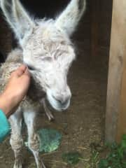 at my mom farm in Poland with a baby lama