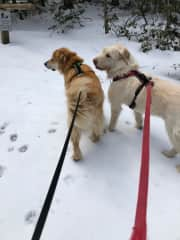 In the Berkshires in Massachusetts, Janet and I sat for these two lovely dogs, YoYo and Tashi, and their cat friend Samantha.