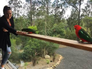 Saying hello to the daily visitors on a house sit in Moruya, Australia
