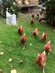 Aussie Hens