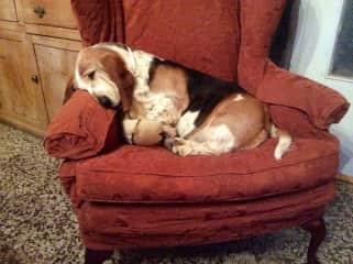 One portly basset hound