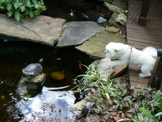 Molly at our pond barking at the turtle, who was not impressed.
