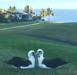 Albatross pair in our backyard