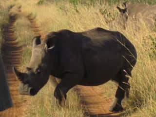 Rhino, South African Safari