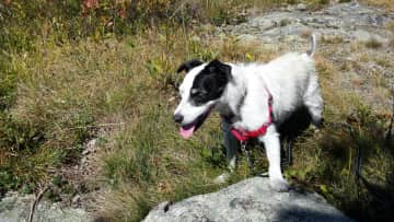 One of three Jack Russells I have owned over my lifetime...this is Belle on a hike with me in Maine