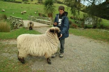 Antonio feeding sheets in Akaroa