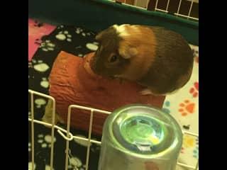 My guinea pig Bean