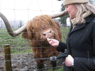 Me feeding Scottish Highland cattle