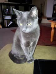 Our cat Lucy Russan Blue  ( in cat Heaven)
