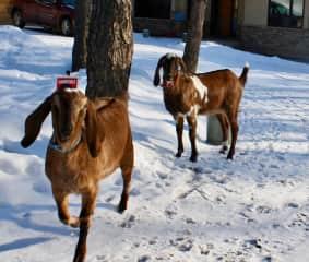 Margaux and Elwood , pet Nubian goats