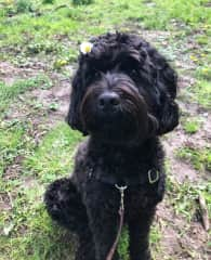 Frankie the Labradoodle!
