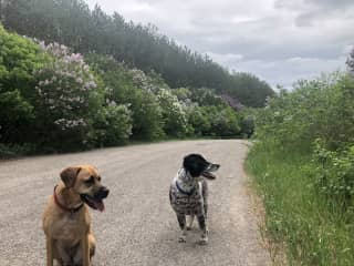 Our two dogs on a long walk (run!)
