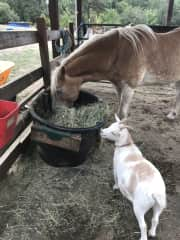 Buddy and Bambi, the goaties love being with the horses