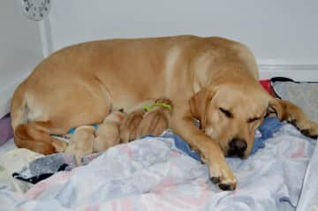 We've been a Whelping Home twice for a non profit service dog organization