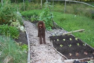 Java in my vegetable garden