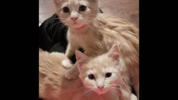 Our foster kitties Bombur and Kili.