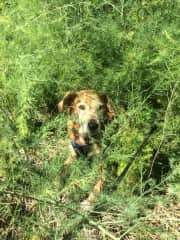 Lucy in the asparagus patch at our local community garden