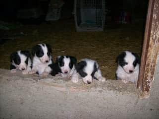 My Border Collie pups I bred.
