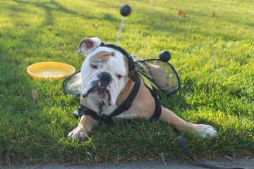 Long term Pet Sit English Bull Dog (at our house) soldier on deployment