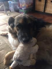 Bear the Bernese Mountain dog playing with Sheila