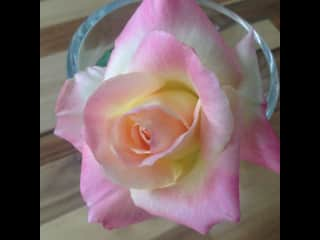 Rose from our garden