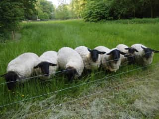 flock of suffolk sheep, four sheep at the moment