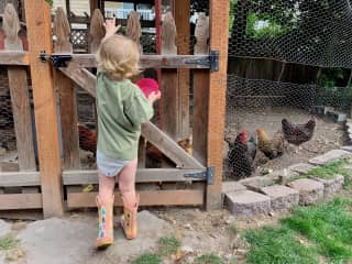 Milo feeding the chickens in Seattle