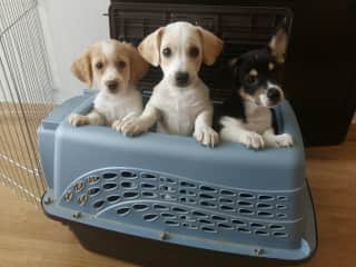 My old foster puppies: George, MoMo and Sam Bon! (L-R)