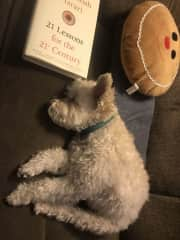 Henry the Schnoodle on a recent trip to Washington to visit the folks