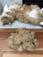 Erwin's fur makes a Donald Trump wig