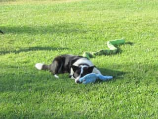 The worlds' only couch potato border collie! He's getting old and slowing down. We give him a daily pill using pill pockets.