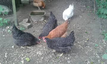 Our cute, amazing chickens