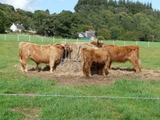 Highland Cows - Farm Sitting in Scotland