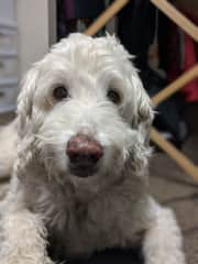 Our late beloved labradoodle Sampson